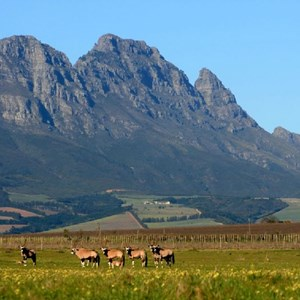Villiera Wildlife Gemsbuck with Simonsberg in background
