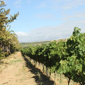 Meerlust vineyards