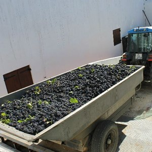 Meerlust Pinot Noir grapes arriving to be destemmed 7 Feb 2013