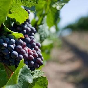 Meerlust Esate grapes