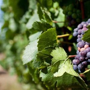 Meerlust Estate Grapes