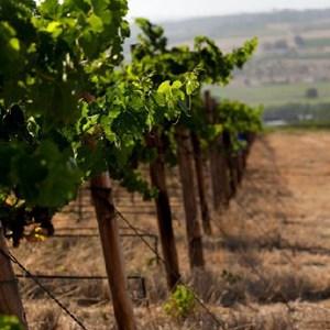 Vineyards at Meerlust Estate