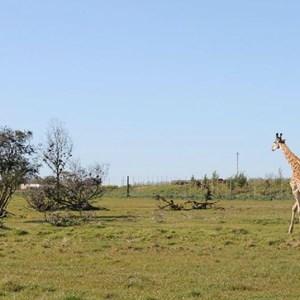 Villiera - wine.co.za visit Sept 2013 - Fransie the giraffe