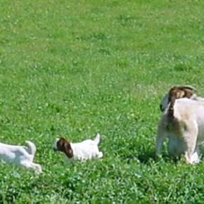 Nature wildlife goats