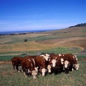 Nature wildlife cows