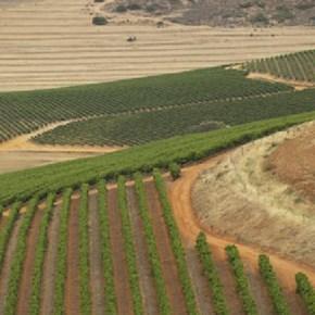 Vineyards 2