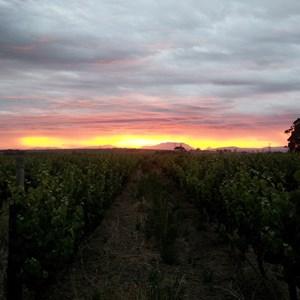 Villiera Wines Harvest