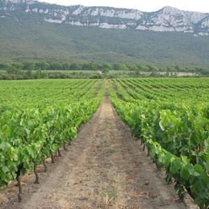 Vineyard 7 .jpg