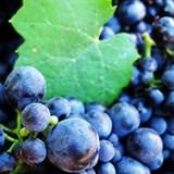 Harvest @ Villiera Wines
