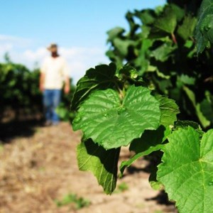Harvest_Vineyard (2).jpg