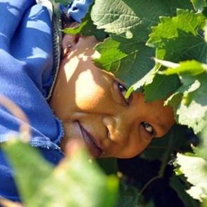 Harvest_Vineyard (7).jpg