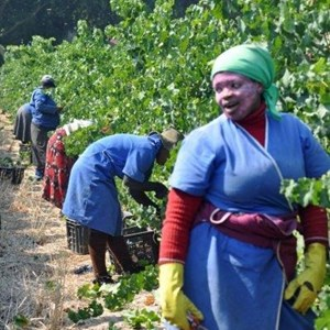 Harvest_Vineyard (11).jpg