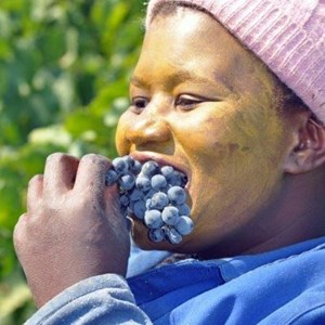 Harvest_Vineyard (15).jpg