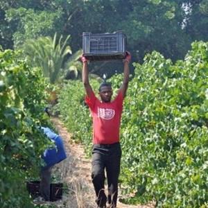 Harvest_Vineyard (17).jpg