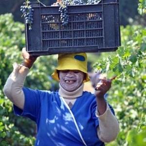 Harvest_Vineyard (18).jpg