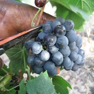 Harvest_Vineyard (25).jpg