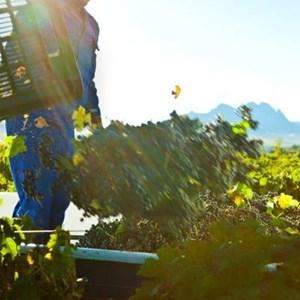 Villiera Harvesting 01 Small.jpg