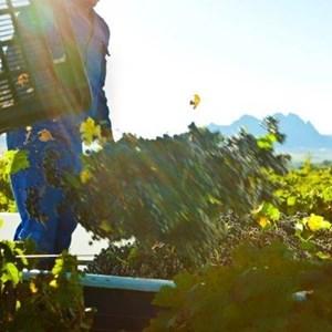 Villiera Harvesting 01.jpg