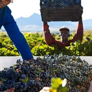 Villiera Harvesting 02 Small.jpg