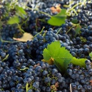 Villiera Harvesting 05 Small.jpg
