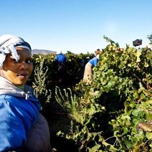 Villiera Harvesting 08 Small.jpg
