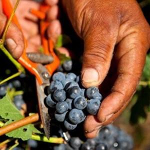 Villiera Harvesting 13.jpg