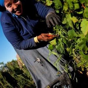Villiera Harvesting 14 Small.jpg