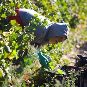 Villiera Harvesting 19.jpg
