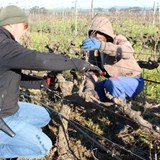 Villiera Wines pruning with Livio Tognon