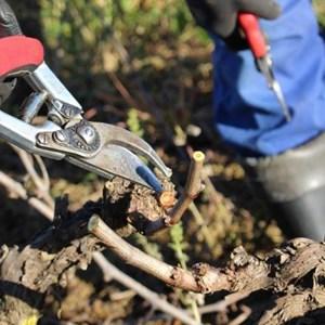 Villiera Winter Pruning (12).jpg