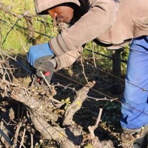 Villiera Winter Pruning (14).jpg