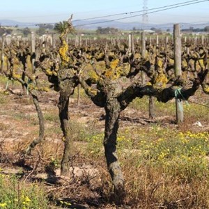 Villiera Winter Pruning (64).jpg