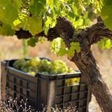 WINEFORGOOD: Old Vines, Liquid History