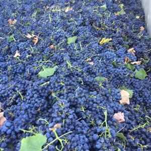 17. A trailer full of healthy Merlot grapes