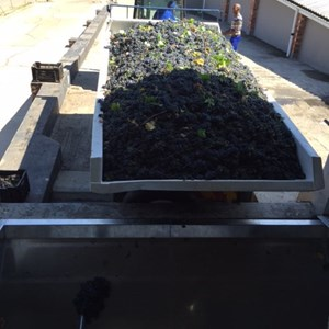 20. Getting ready to tip the Merlot into the receiving bin