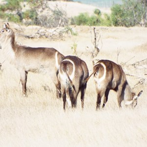 Villiera Wildlife Sanctuary - WATERBUCK.JPG