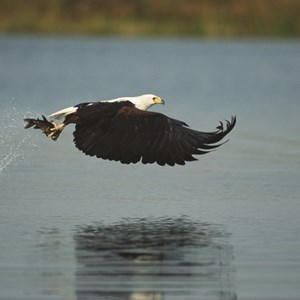 The Fish Eagle