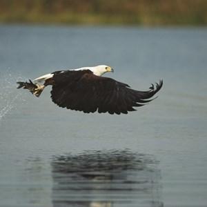 The Fish Eagle