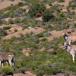 Zebra & Eland