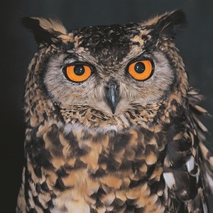 The Cape Eagle Owl