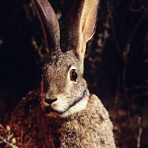 Riverine-rabbit