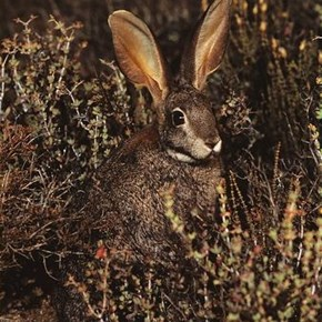 Riverine-rabbit-in-scrub-vegetation