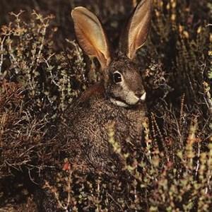 Riverine-rabbit-in-scrub-vegetation