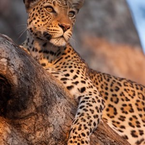 The Cape Leopard