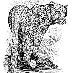 The Cape Leopard