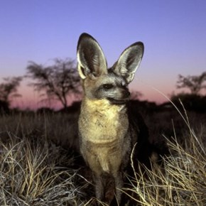 The Bat Eared Fox