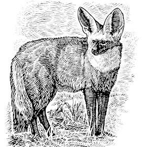 The Bat Eared Fox