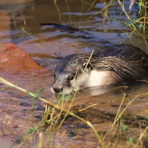 The Cape Clawless Otter