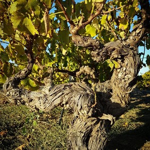 Old Vine Project old vine Villiera Chenin