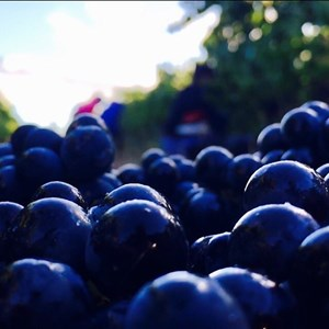 Picking Pinot Noir early morning, healthy grapes 2017